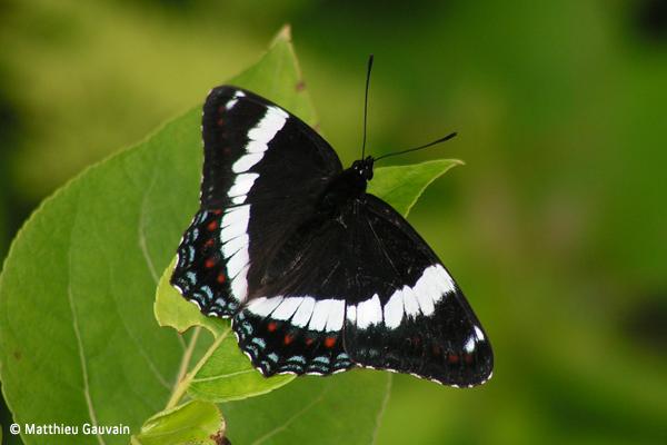Le papillon amiral devrait être notre insecte emblématique